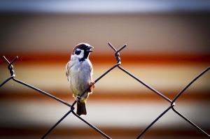 sparrow-426961_640(1)
